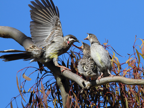 Red-Wattlebird-with-young