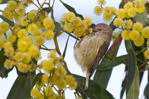 Striated Thornbill_14-08-28_2 crop
