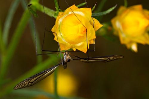 Long Black-nosed Crane Fly_14-10-10_2 crop