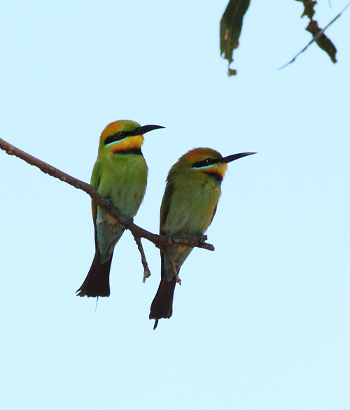 Rainbow Bee-eater pair (female at right), Welshman's Reef, 21st October 2014.