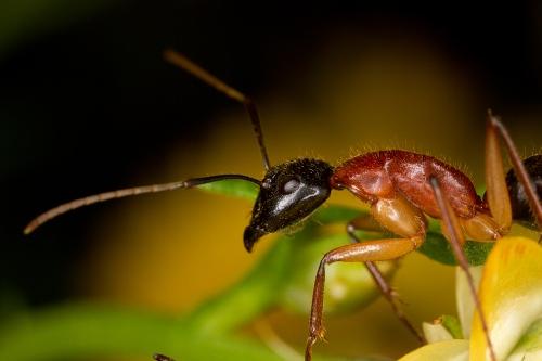 Sugar Ant on Everlasting_14-10-09_2