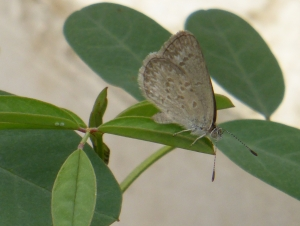 Grass-blue Butterfly laying eegs on Indigofera australis in igloo 14 Nov 2014 - small file