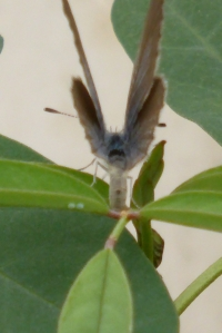 Grass-blue Butterfly rear view laying eggs on Indigofera australis in igloo 14 Nov 2014 - small file