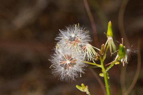 Groundsel-seeds_14-11-15_1