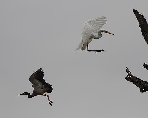 Herons2