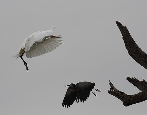 Herons3