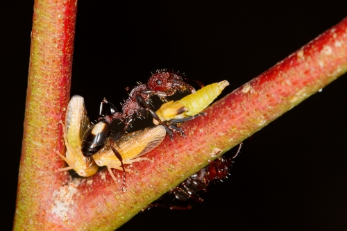 Muscleman Tree Ant with nymphs_14-11-15_26 crop