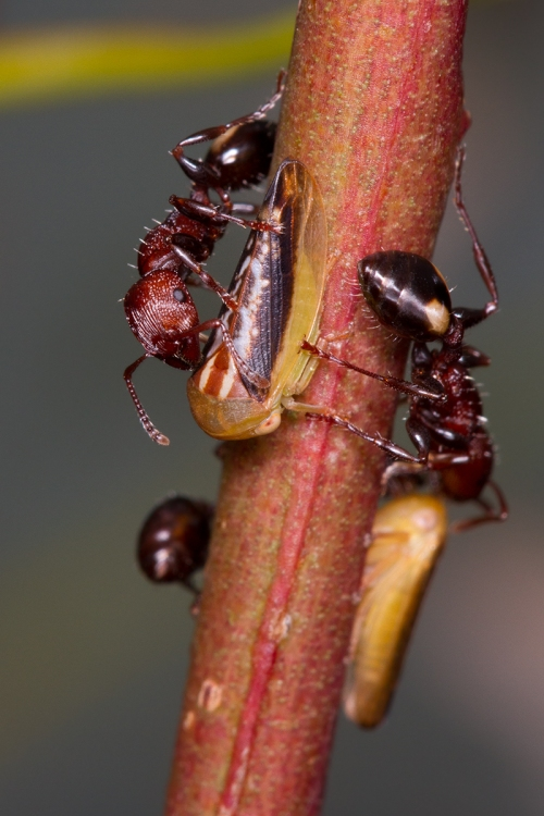 Muscleman Tree Ant with nymphs_14-11-15_52 crop