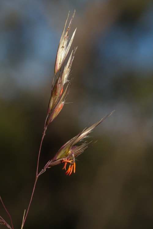 Red Anther Wallaby Grass_14-11-04_9