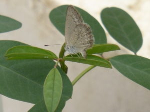 small bluish butterfly laying eegs on Indigofera australis in igloo 14 Nov 2014 - small file