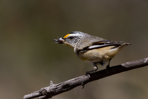 Striated Pardalote_14-11-04_11 crop