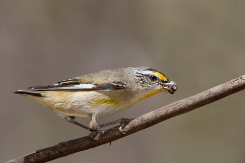 Striated Pardalote_14-11-04_14 crop