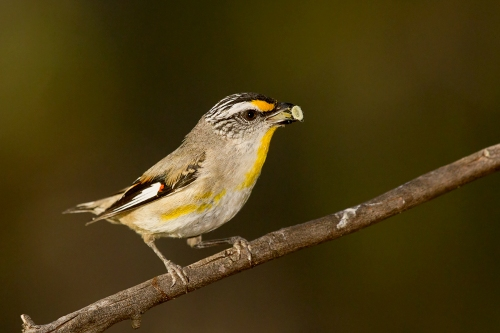 Striated Pardalote_14-11-04_2 crop