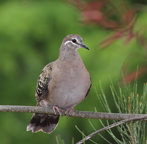 CommonBronzewing