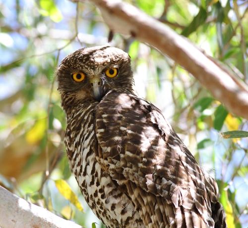 Powerful-Owl