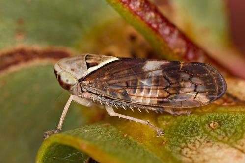 Leafhopper_15-01-08_1 crop