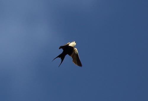 WBSwallow4