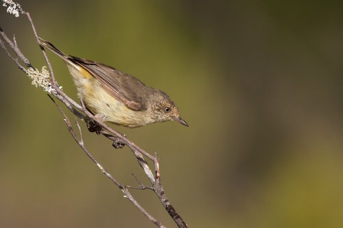 Buff-rumped Thornbill_15-02-13_2 crop