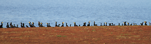Cormorants3