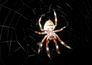 Orb Weaver in action 10pm 10 Feb 2015
