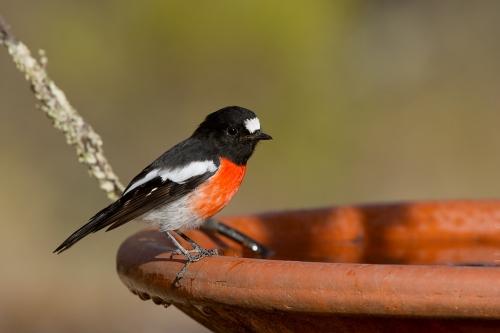 Scarlet Robin_15-02-13_6 crop