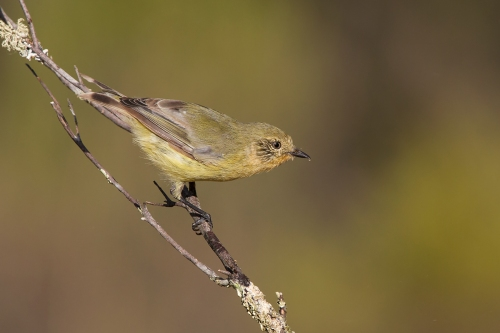 Striated Thornbill_15-02-13_1