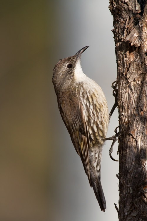 White-throated Treecreeper_15-02-13_1 crop