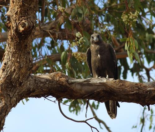 Black-Falcon