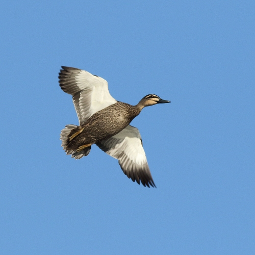 BlackDuck3