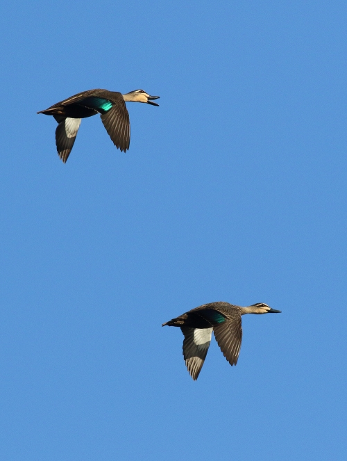 BlackDuck4
