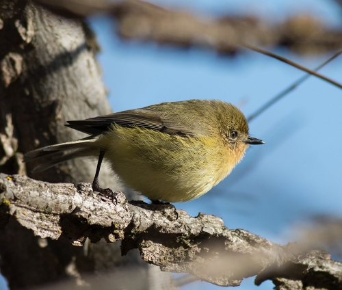 YellowThornbill1