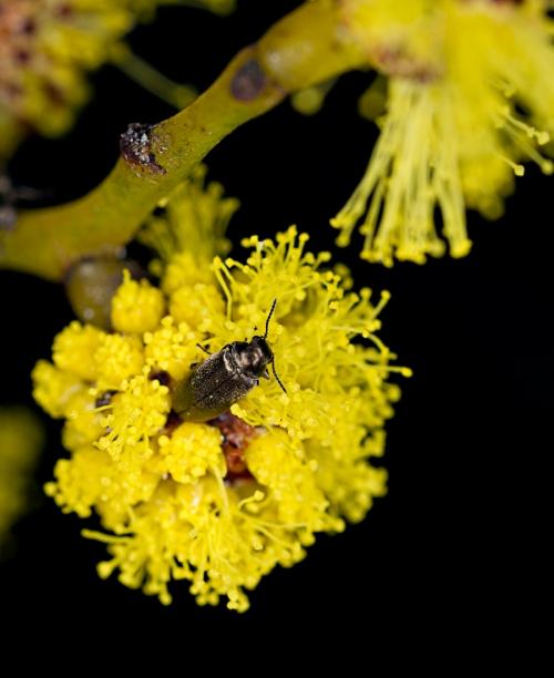Beetles on Golden Wattle_15-08-23_1 crop