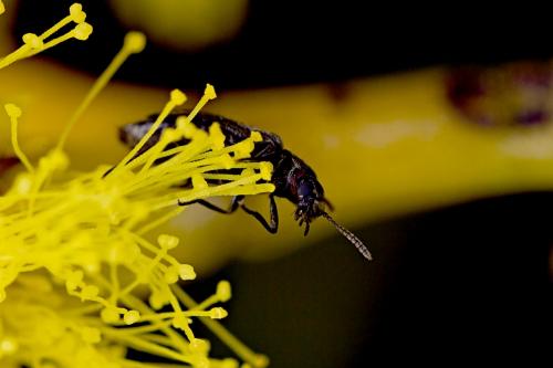 Beetles on Golden Wattle_15-08-23_11 crop