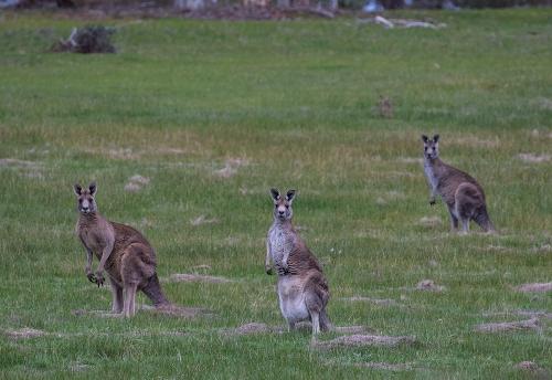 Kangaroos1