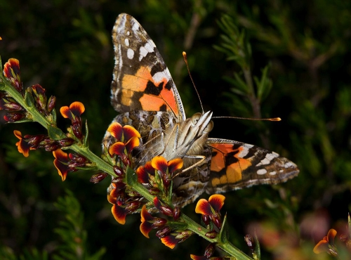 Painted-Lady-on-Gorse-Bitter-pea-by-Patrick-Kavanagh