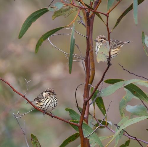 Warblers1