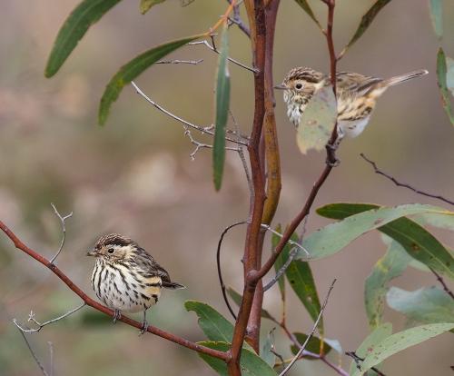 Warblers2