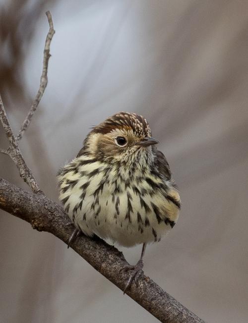 Warblers4
