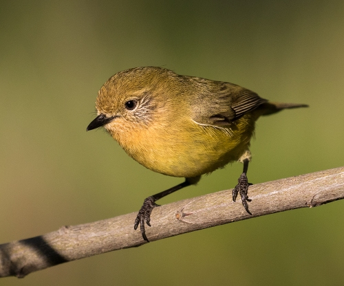 YellowThornbill1