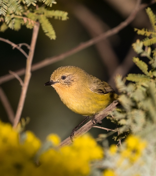 YellowThornbill2