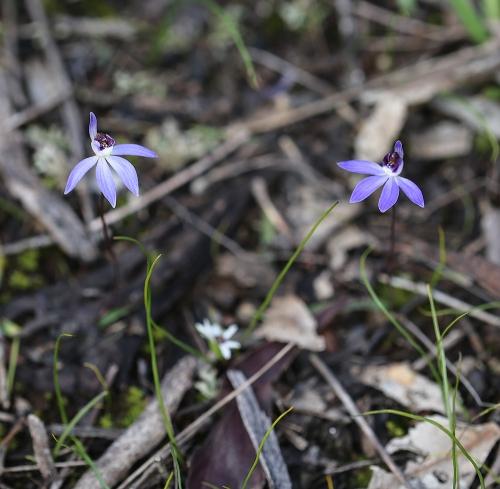 Bluecaladenias