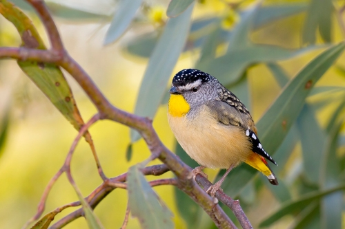 Spotted Pardalote_15-09-05_3 crop