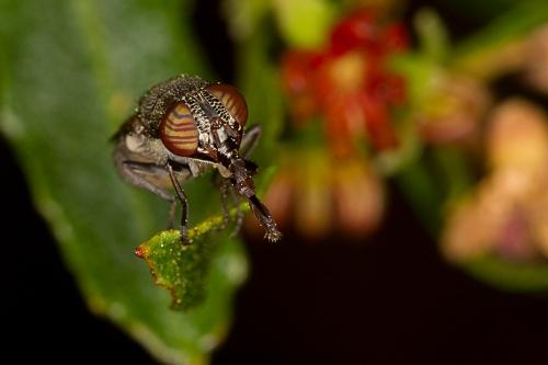 Fly on Hop Bush_15-10-16_11 crop