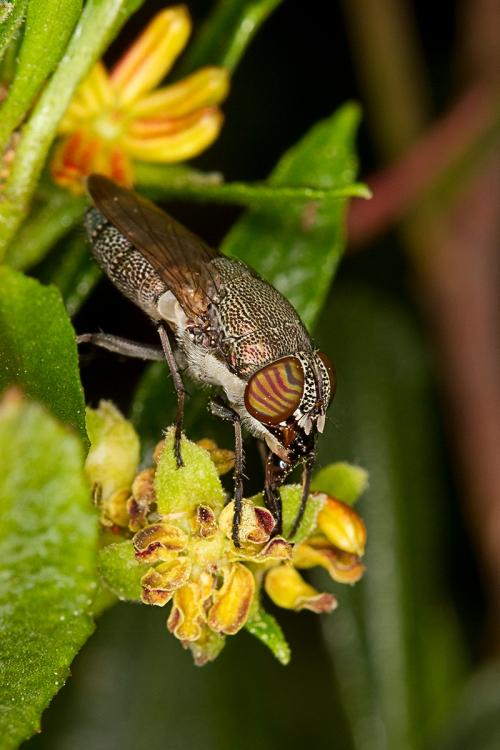 Fly on Hop Bush_15-10-16_16 crop