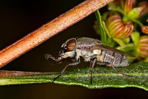 Fly on Hop Bush_15-10-16_5 crop