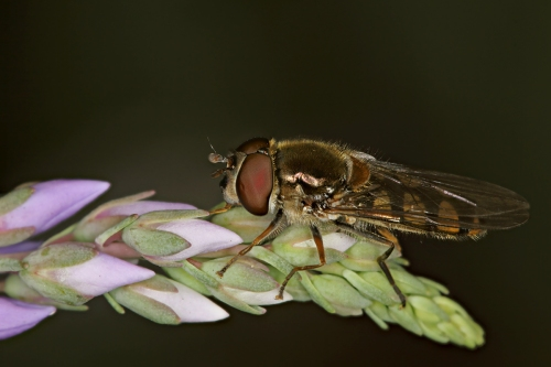 hoverfly stack crop