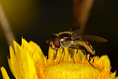 Hoverfly_15-10-11_44 crop