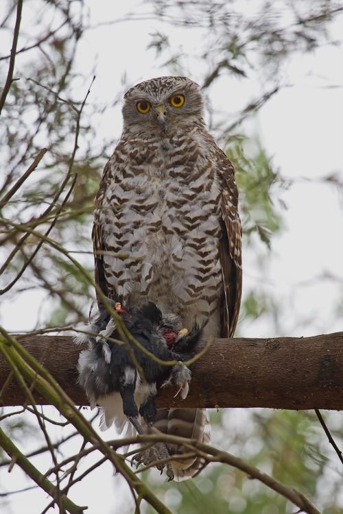 Powerful-Owl_13-02-10_6
