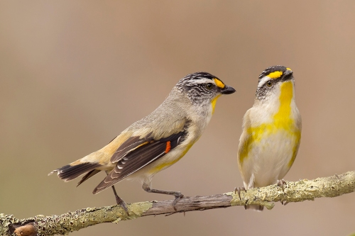 Striated Pardalote_15-10-17_15 crop
