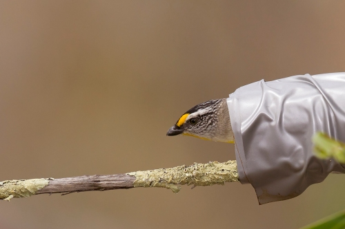 Striated Pardalote_15-10-17_19 crop